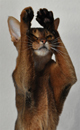 Абиссинскиая кошка AbyMania