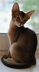 Абиссинские котята AbyMania