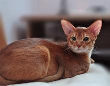 Абиссинский кот AbyMania